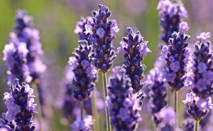 fleur-lavande-savon-bio-berthe-guilhem